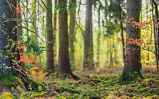 forest-kapak